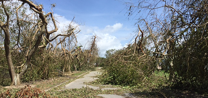 Trees damaged in Florida by Hurricane Irma